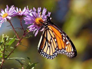 butterfly-17057_960_720